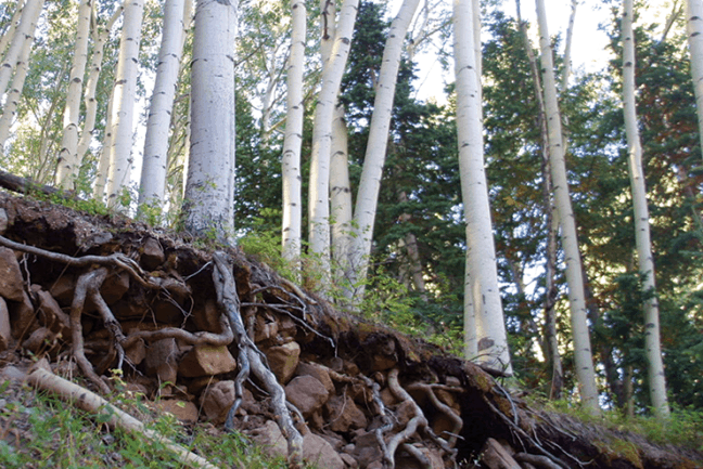 aspen-roots-1